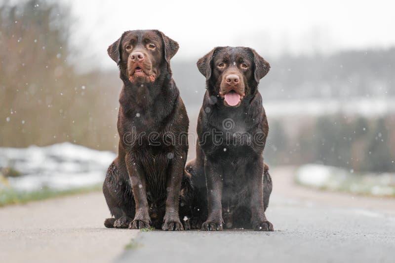 Dois labrador retriever marrom novo bonito perseguem os cachorrinhos que sentam-se junto no sorriso concreto da rua imagens de stock