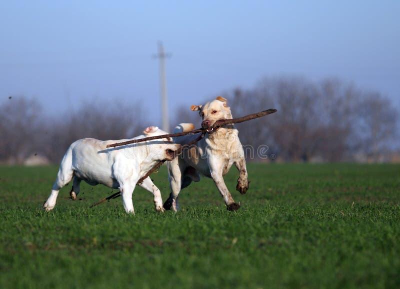 Dois labradors amarelos que jogam no campo fotografia de stock royalty free