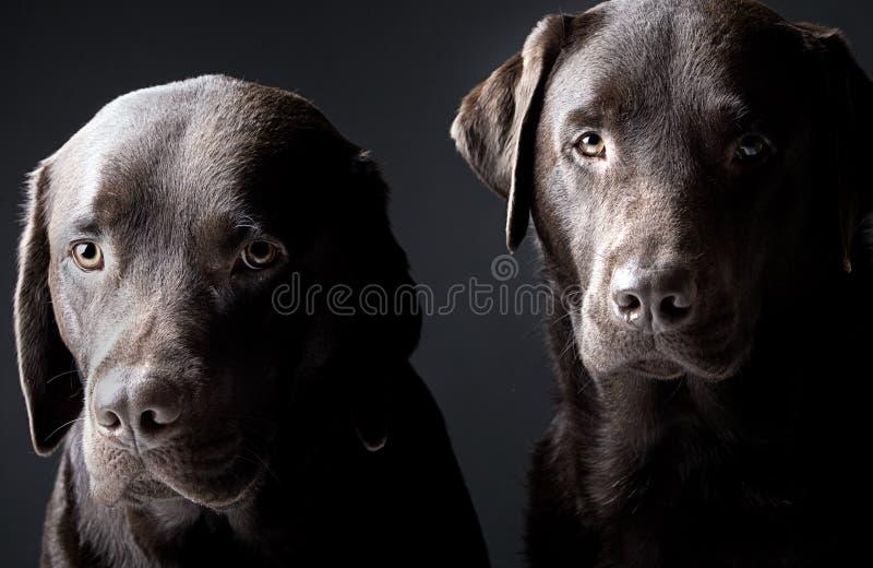 Dois labradors consideráveis do chocolate imagens de stock royalty free