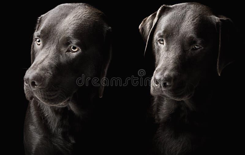 Dois labradors consideráveis do chocolate fotografia de stock