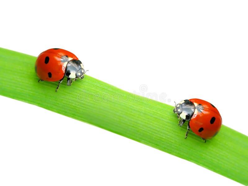 Dois ladybugs imagens de stock royalty free