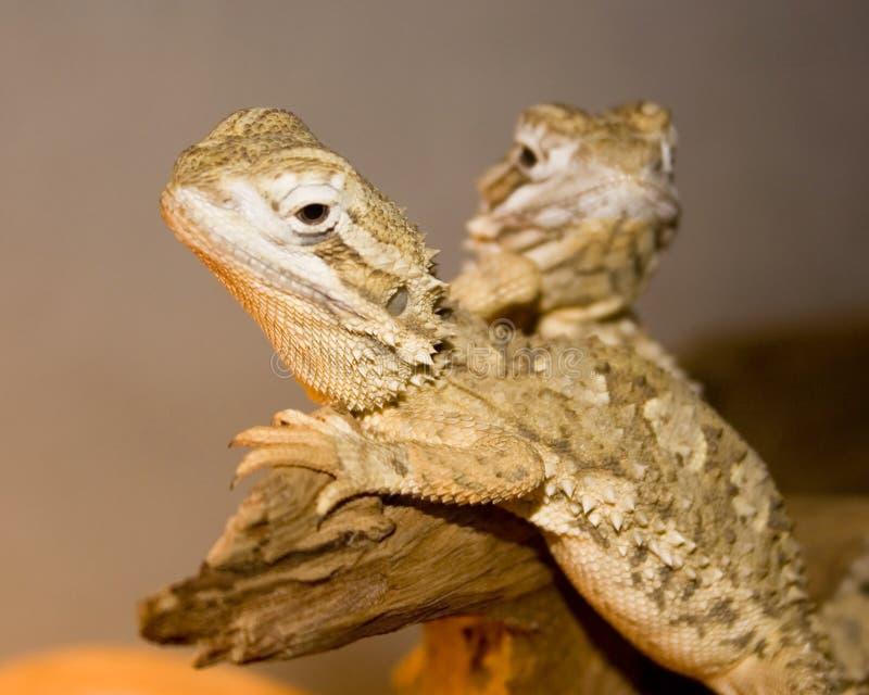 Dois lagartos imagens de stock royalty free