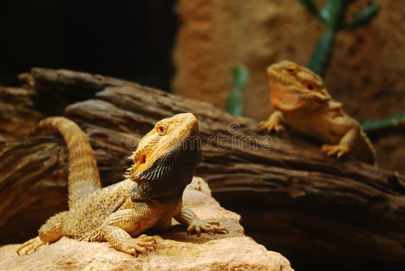 Dois lagartos castanhos imagens de stock