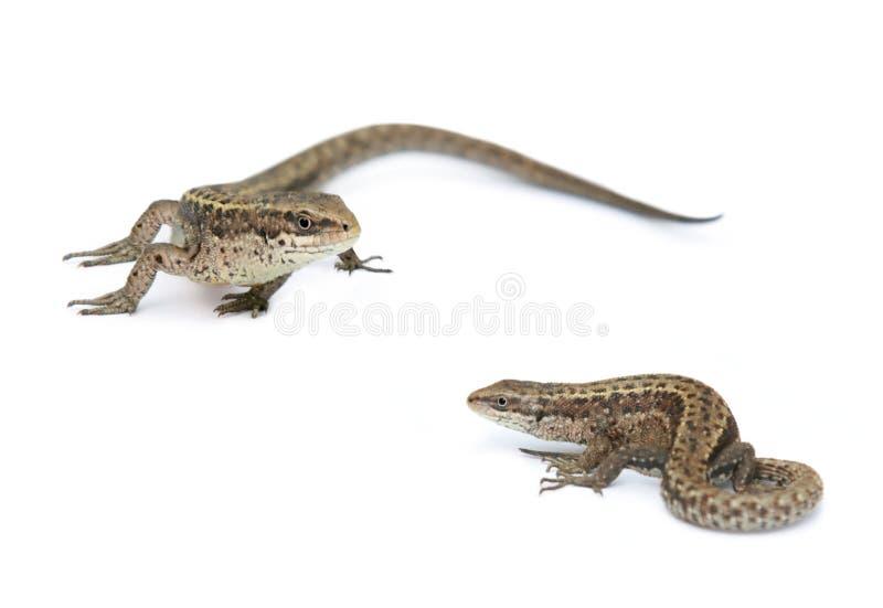 Dois lagartos isolados em um branco fotografia de stock
