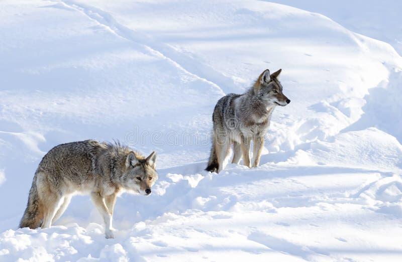 Dois latrans do Canis dos chacais no fundo branco que anda e que caça na neve do inverno fotos de stock royalty free