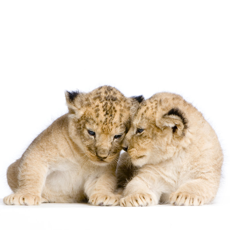 Dois leão Cubs imagem de stock royalty free