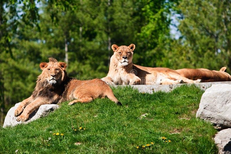 Dois leões fotos de stock royalty free