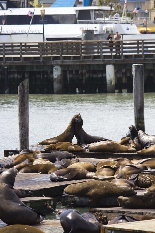 Dois leões de mar que abraçam no cais 39 em San Francisco imagem de stock royalty free