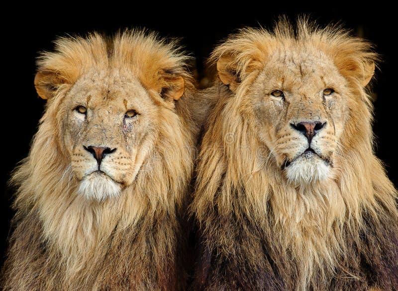 Dois leões masculinos fotografia de stock royalty free