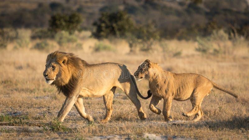 Dois leões masculinos que correm, Savuti, Botswana fotografia de stock royalty free