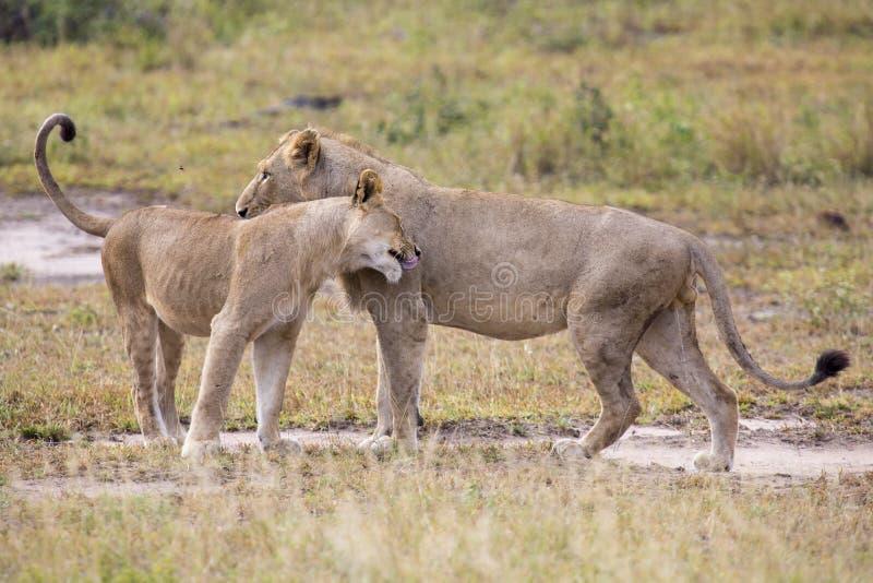 Dois leões masculinos que cumprimentam para afirmar a ligação da lealdade imagem de stock