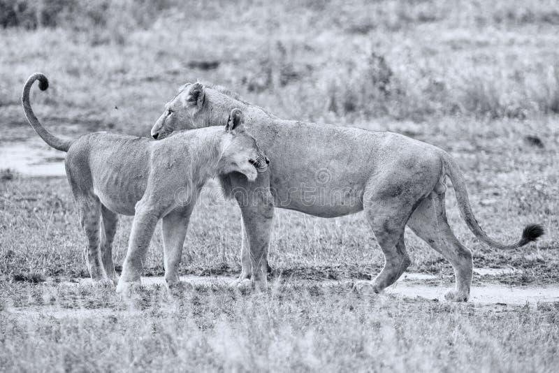 Dois leões masculinos que cumprimentam para afirmar a ligação da lealdade fotografia de stock royalty free