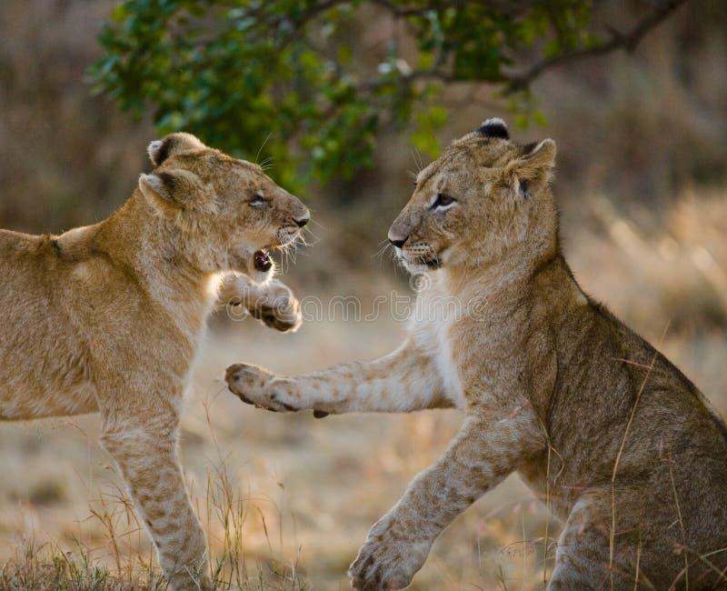 Dois leões novos que jogam um com o otro Parque nacional kenya tanzânia Maasai Mara serengeti fotografia de stock