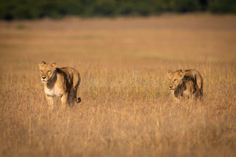 Dois leões que andam de lado a lado através da grama longa imagens de stock royalty free