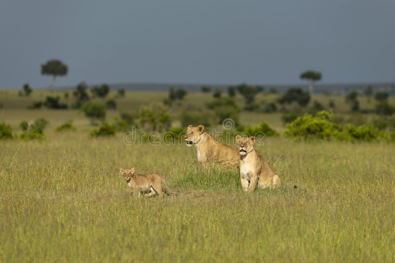Dois leoa e filhote, Maasai Mara, Kenya, África imagem de stock royalty free