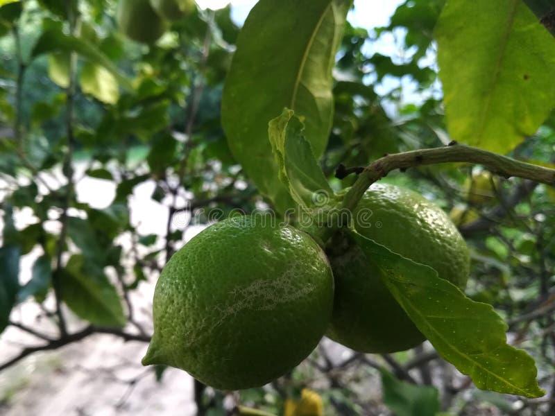 Dois limões verdes que crescem em uma árvore de limão imagens de stock royalty free