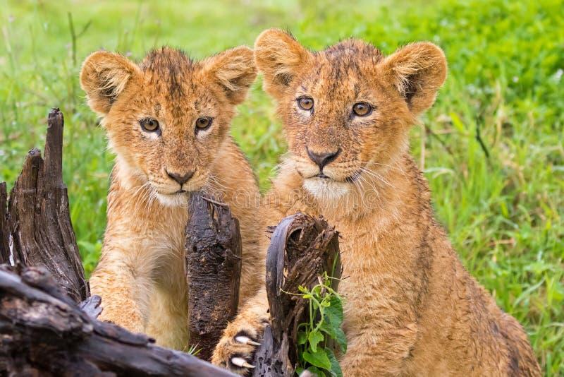 Dois Lion Cubs novo que joga riscando o coto na chuva na cratera de Ngorongoro, Tanzânia, East Africa fotos de stock