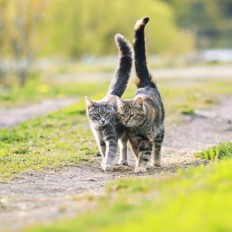 Dois listraram o gato dos amantes que anda perto do prado ensolarado suculento no th foto de stock royalty free