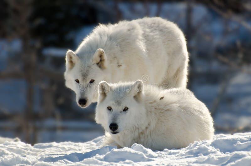 Dois lobos árticos fotografia de stock royalty free
