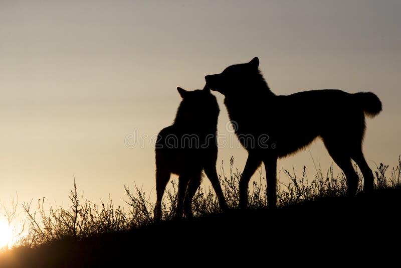 Dois lobos mostrados em silhueta no nascer do sol imagens de stock royalty free