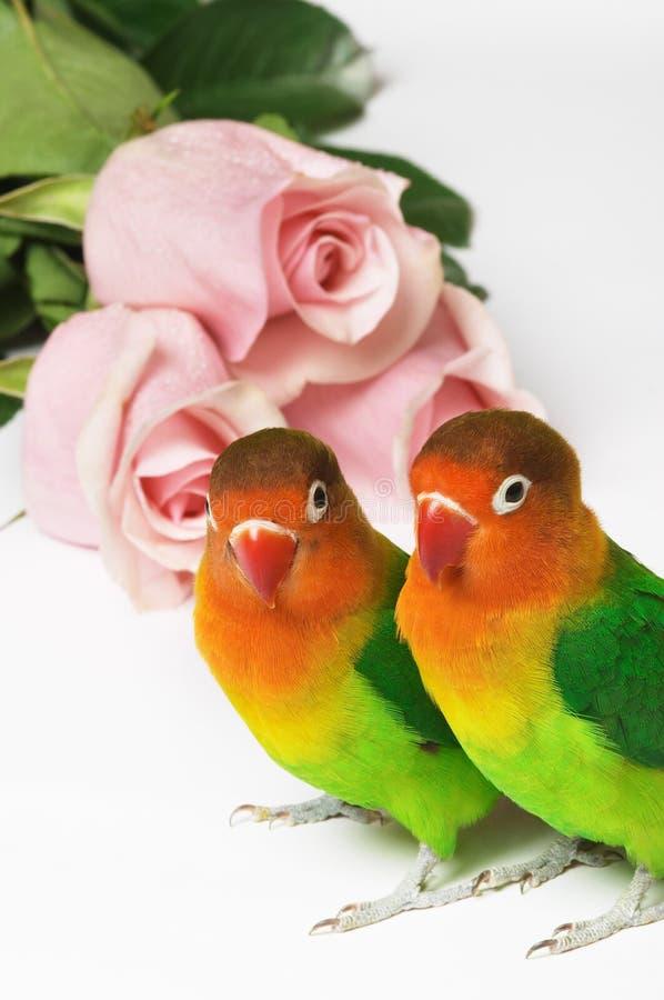 Dois lovebirds e rosas cor-de-rosa fotos de stock royalty free