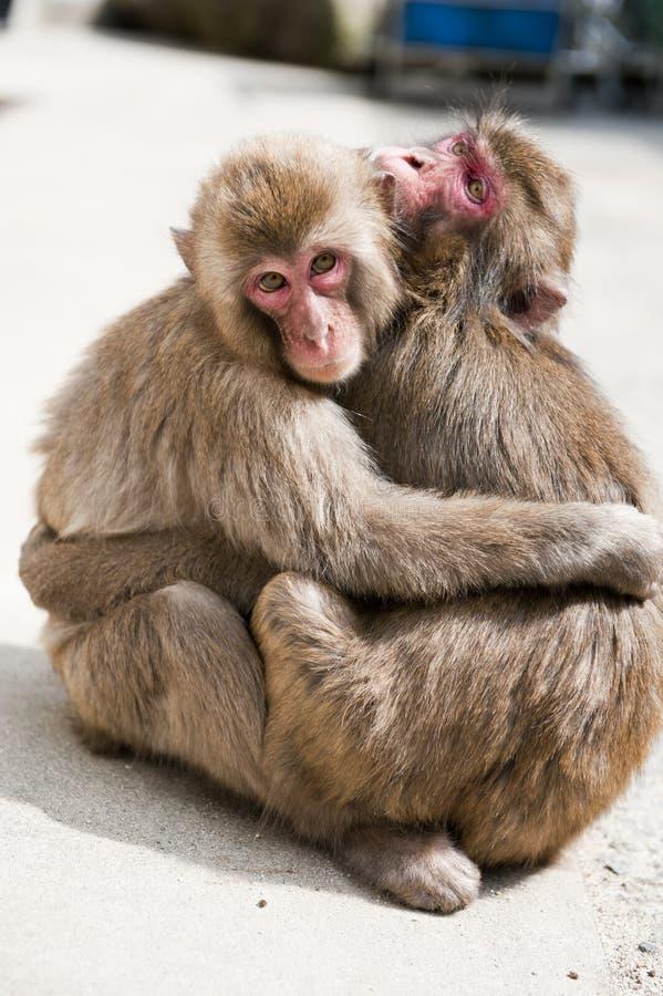 Dois macacos foto de stock royalty free