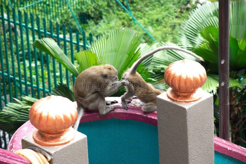 Dois macacos estranhos em cavernas de Batu fotografia de stock royalty free