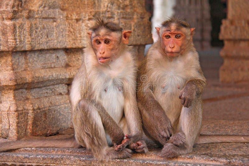 Dois macacos tristes imagem de stock royalty free