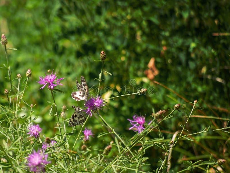 Dois marmorearam a competição branca das borboletas uma flor, uma em voo Galathea de Melanargia foto de stock