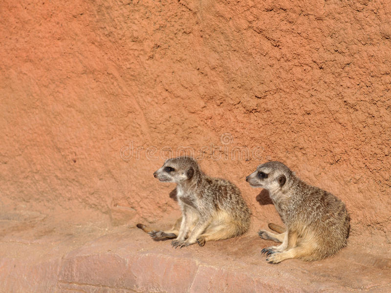 Dois meerkats fotos de stock
