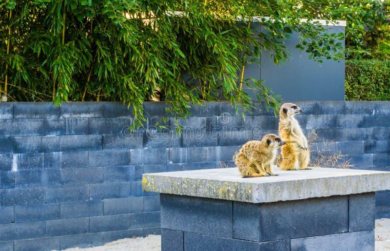 Dois meerkats em um polo que olha junto ao redor imagem de stock royalty free