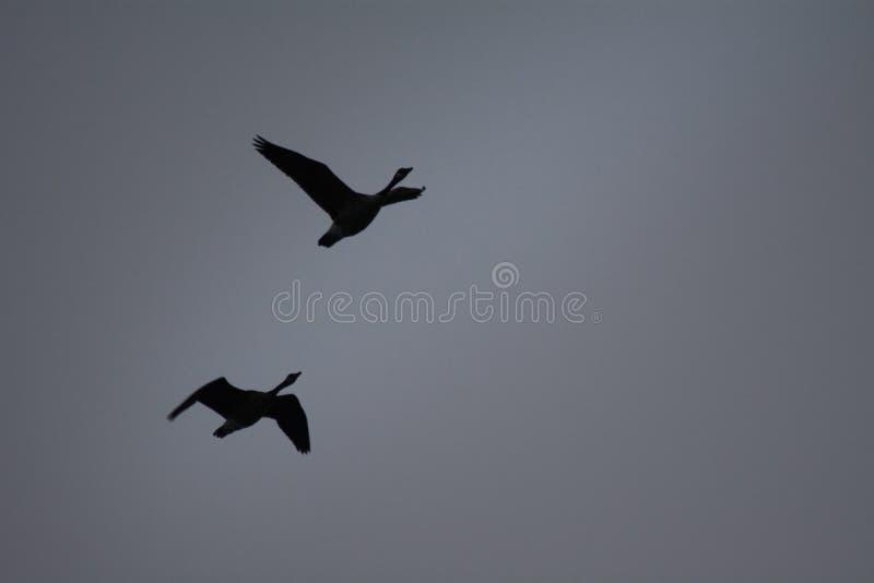 Dois mergulhões-do-norte voam em cima contra um céu cinzento imagens de stock royalty free