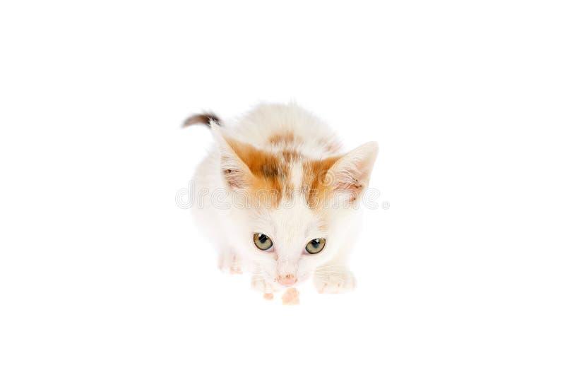 Dois meses bonitos do gatinho velho da chita que aspira o bocado da carne e que olha à câmera, isolada no fundo branco Gato casei fotografia de stock royalty free
