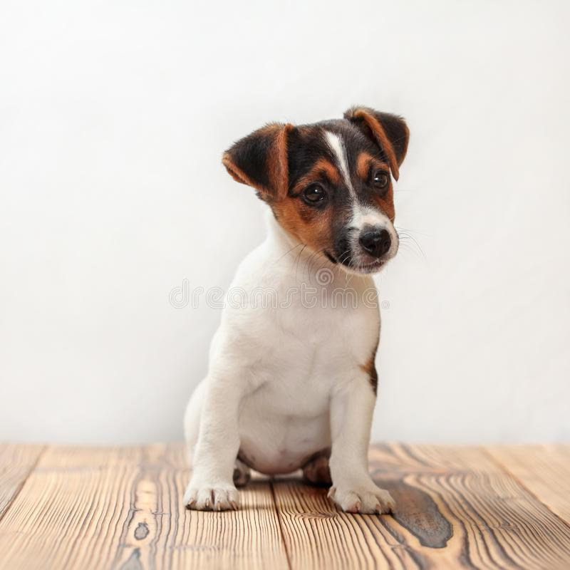 Dois meses de cachorrinho velho do terrier de Jack Russell, tiros do estúdio no woode imagens de stock