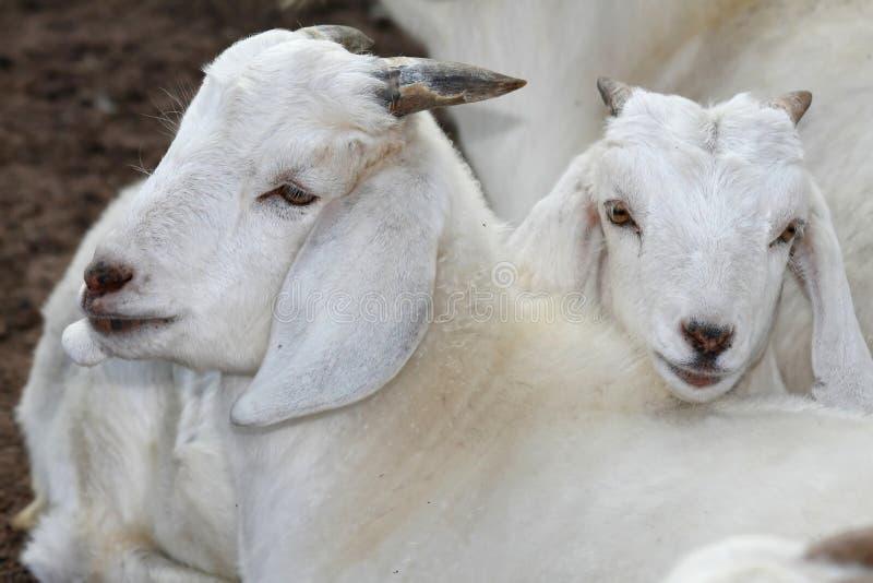 Dois miúdos da cabra imagens de stock royalty free