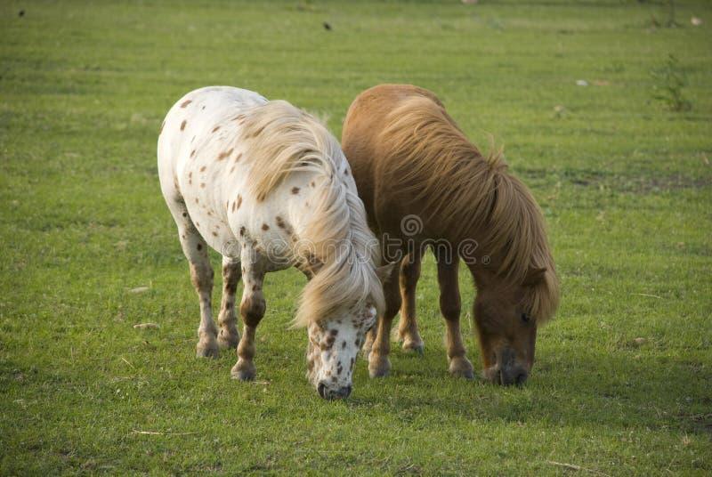 Dois mini ponys de Shetland imagem de stock royalty free