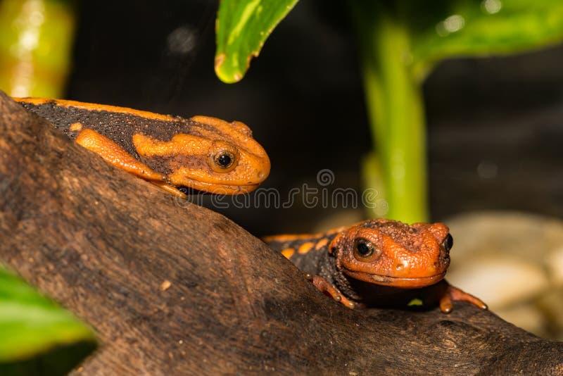 Dois Newts Himalaias do crocodilo que escalam em um log fotos de stock