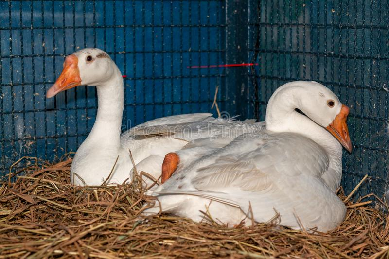 Dois ovos brancos do portal do ganso no feno na gaiola em Tailândia fotos de stock
