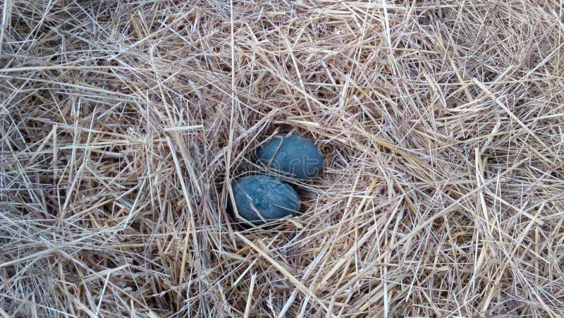 Dois ovos da avestruz fotografia de stock royalty free