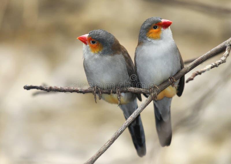 Dois pássaros imagem de stock royalty free