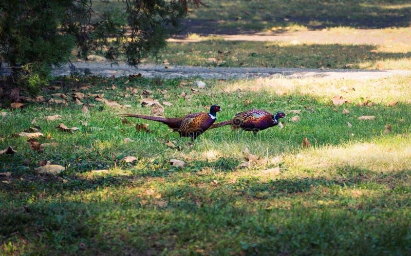 Dois pássaros bonitos do faisão no parque foto de stock