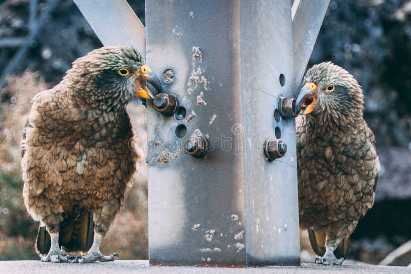 Dois pássaros de Kea que mordem porcas na estrutura de aço fotografia de stock