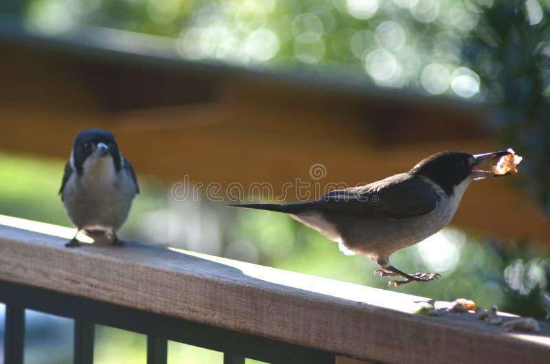 Dois pássaros do carniceiro em uma cerca imagens de stock