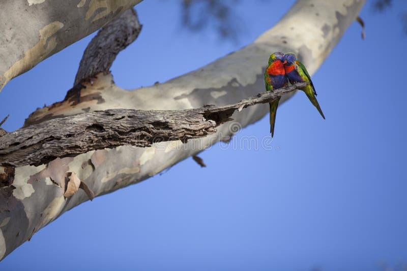 Dois pássaros do papagaio de Rosella do australiano na árvore foto de stock royalty free