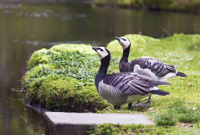 Dois pássaros em uma lagoa foto de stock royalty free