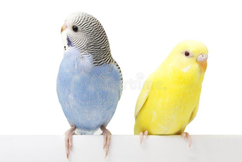 Dois pássaros estão em um fundo branco fotografia de stock royalty free