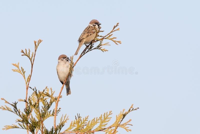 Dois pássaros estão sentando-se em um ramo pardais contra o céu azul fotos de stock