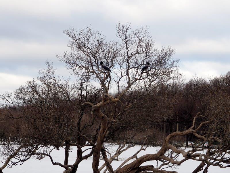 Dois pássaros estão sentando-se nos ramos desencapados de uma árvore na mola adiantada em um parque da cidade fotografia de stock royalty free