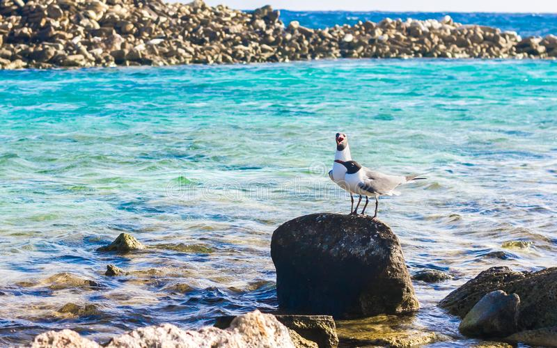 Dois pássaros na praia do bebê, Aruba foto de stock royalty free