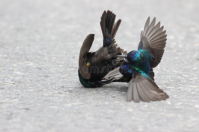 Dois pássaros que lutam na rua imagem de stock